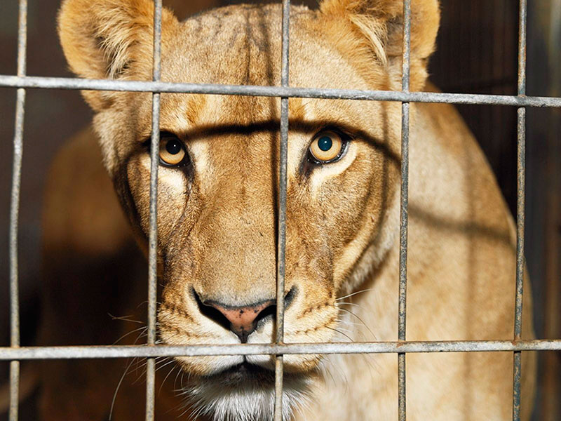 Счастливы ли животные в цирке?