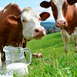 5 нелепых мифов о коровьем молоке